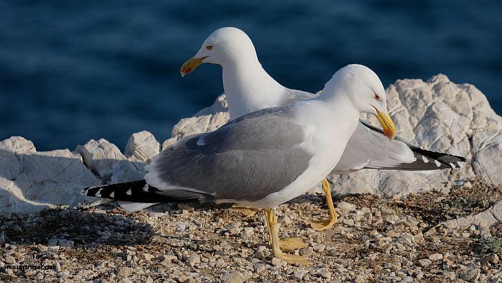Чайки с острова Ратонно