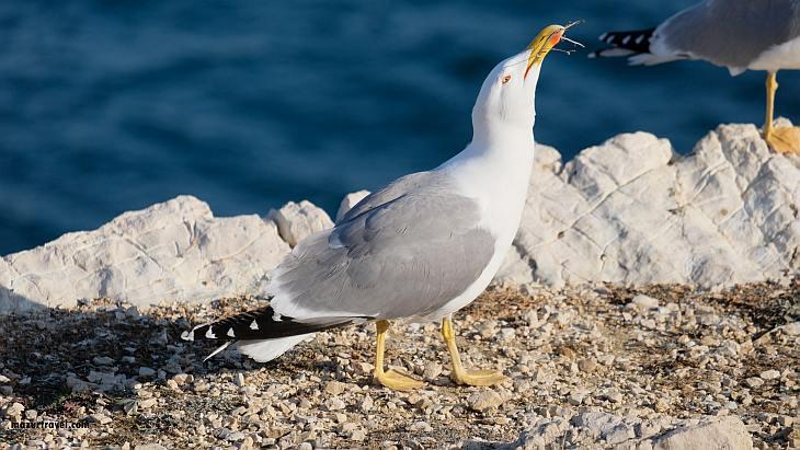 Чайка с острова Ратонно
