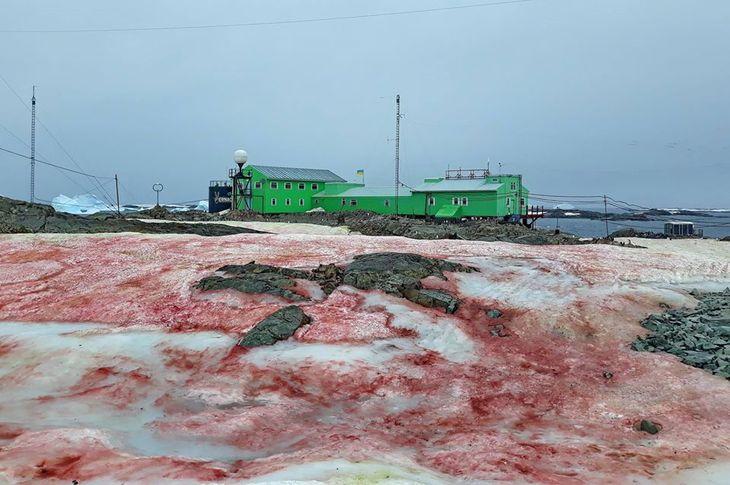 Красный снег на антарктической станции «Академик Вернадский»