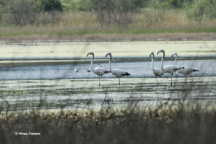 Фламинго в Украине