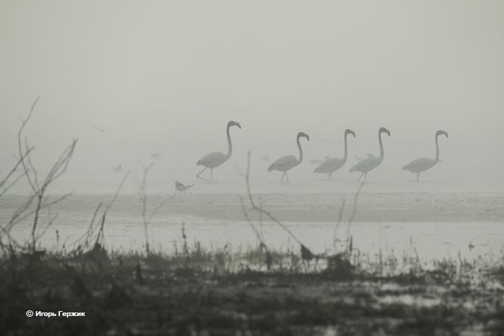 Фламинго на Тилигульском лимане