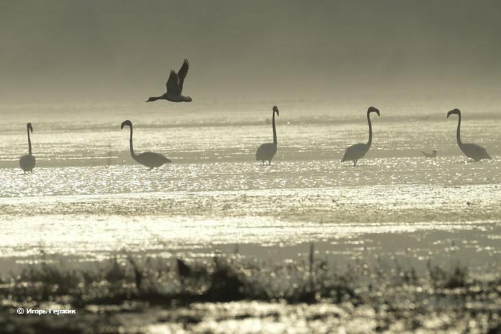 Фламинго в Украине обосновались на Тилигульском лимане