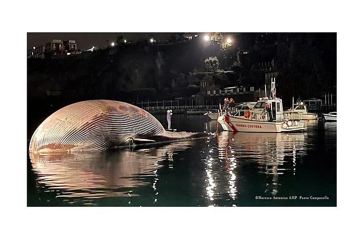 Самый большой кит-финвал найден в Средиземном море – увы, мертвым